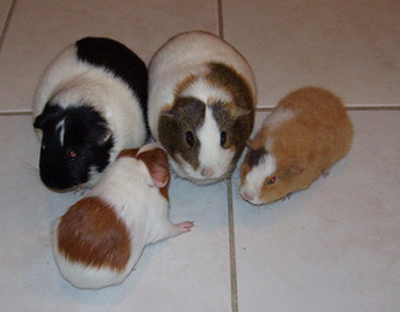 0808sharonguineapigs